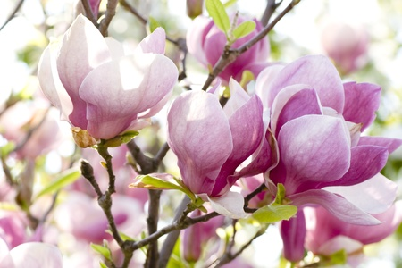 Pink magnolia flowers on a branch  photo