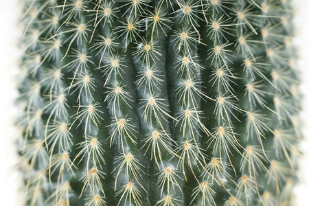 potted plant cactus: Cactus close-up of white background