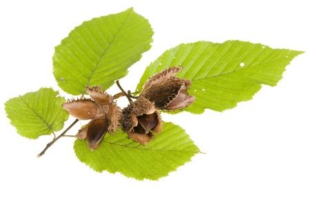 Bucheckern und Blätter auf weißem Hintergrund