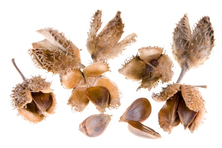 beech tree beech: beech nuts on white background