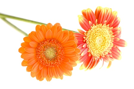 orenge: Orange and yellow gerbera daisy family