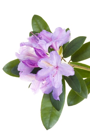 rhododendron: Pink rhododendron, azalea Stock Photo