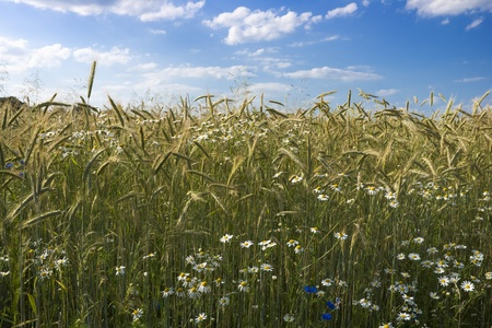 Ripening rye in the field of summertime with cornflower and chamomile flower photo