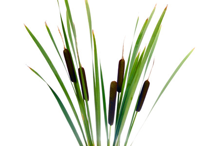 cattails: Water cattails on a white background isolated