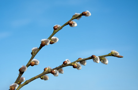 pussy tree: Beautiful spring catkins on blue sky background