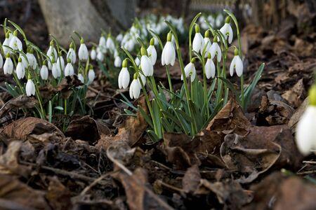 galanthus: Beautiful spring flowers snowdrops, Galanthus nivalis
