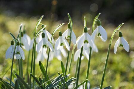 nivalis: Beautiful spring flowers snowdrops, Galanthus nivalis