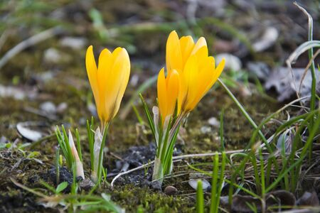 clse: Yellow crocuses on spring  meadow clse up