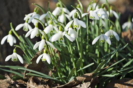 snowdrop: Beautiful spring flowers snowdrops, Galanthus nivalis