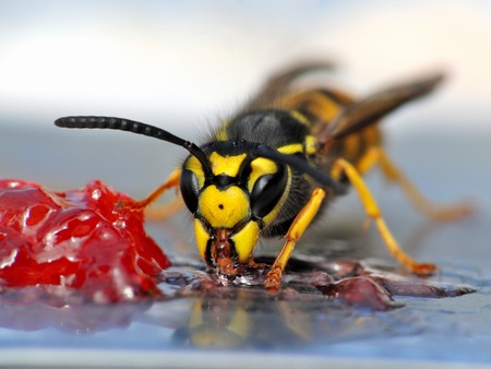 A close-up of a wasp eating jelly. photo