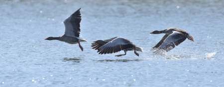 Three Graylag Geese ready to take off.
