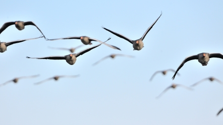A flock of graylag geese in flight.