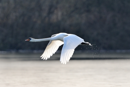 A mute swan in flight just after taking off from a lake. Banco de Imagens