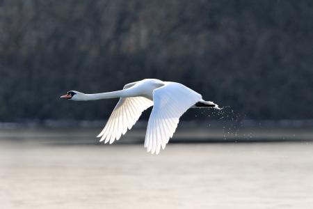 vol d oiseaux: Un cygne muet en vol juste apr�s le d�collage d'un lac.