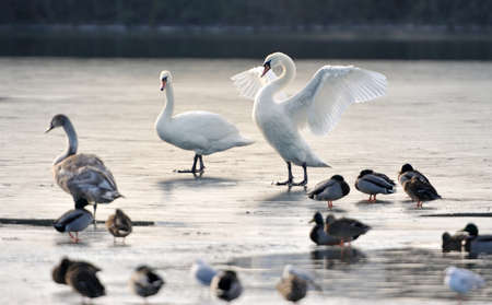 A group of mute swans an duck on a frozen lake. The great white swan shows his wings. photo