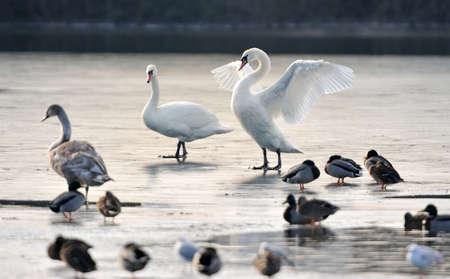 Sessiz kuğu donmuş bir göl üzerinde bir ördek bir grup. Büyük beyaz kuğu kanatlarını gösterir.