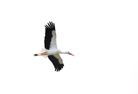 An isolated stork in flight showing his wings.