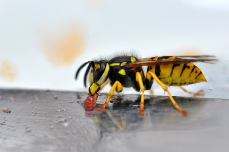 Wasp on a knife eating jelly.