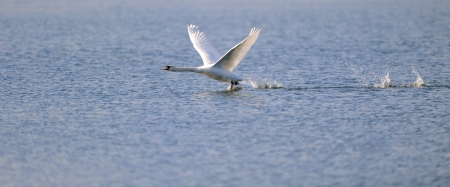 A mute swan running over water ready for take off. photo