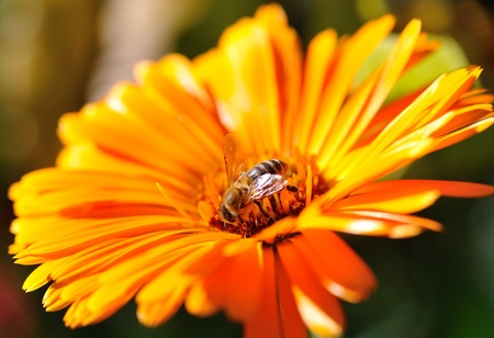 A busy bee in an orange flower. Warm autumn sun light.