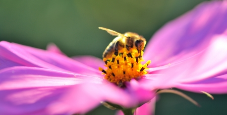 Bee at work in a pink flower Stock Photo - 14507318