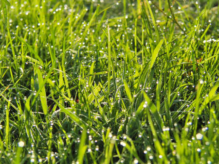 Green grass with dew early in the morning