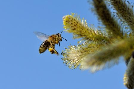 A bee in flight working hard. Stock Photo