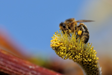 A close-up of a busy bee at work. Stock Photo