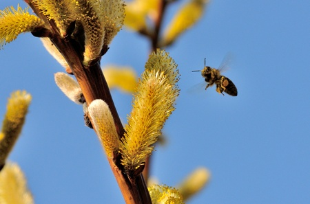 A bee in flight is looking at you. Stock Photo