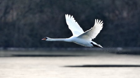 A mute swan in flight just after taking off from a lake. photo