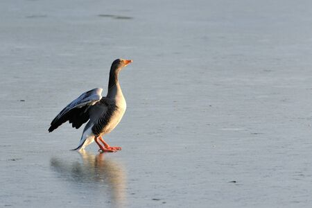 A graylag goose taking a bath in the sun on a frozen lake.