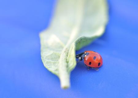 Close-up of a ladybeetle pushing a leaf.