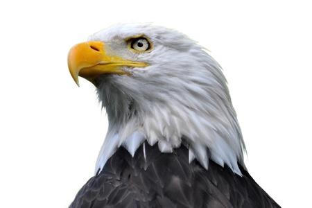 An isolated bald eagle head. Stock Photo