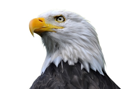 eagle feather: An isolated bald eagle head. Stock Photo