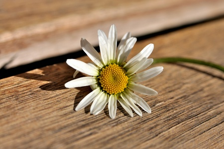 A marguerite on a wooden bench