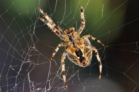 web side: El lado inferior de una ara�a de jard�n en la reparaci�n de su web