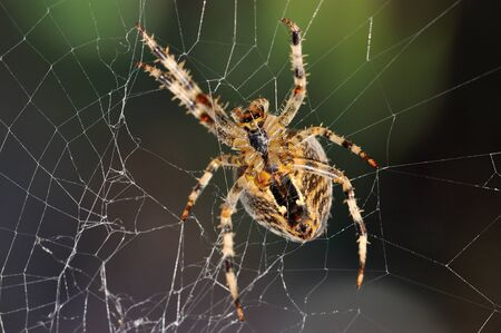 The bottom side of a garden spider in the repair of its web  Stock Photo