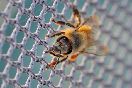 compound eye: A honey bee on the net
