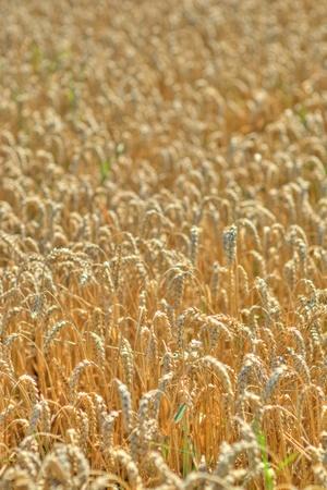 wheatfield: Wheatfield