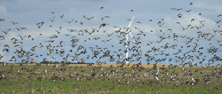Large flock of birds in a field Stock Photo - 15518808