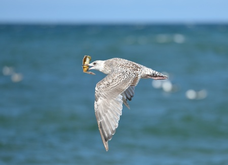 Seagull with parts of a crab in its beak