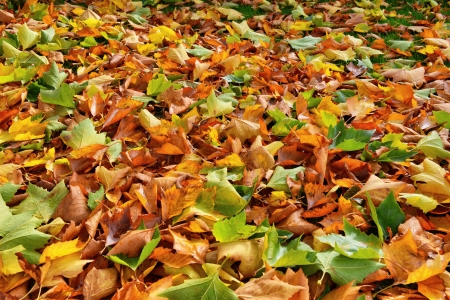 Autumn leaves of a sycamore tree Stock Photo