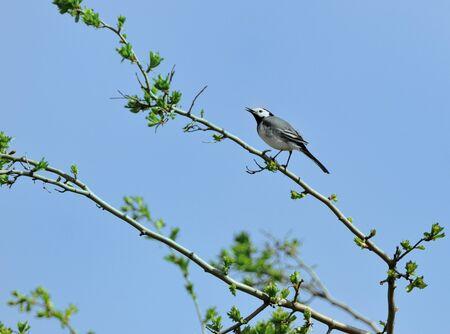 motacilla: Lavandera - Motacilla alba