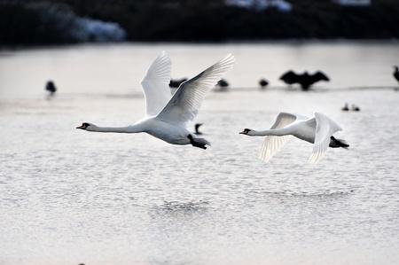 mute swan: Two Mute Swans in flight