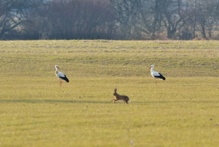 Two storks watching a rabbit
