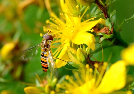 Close-up of a hoverfly on a yellow blossom