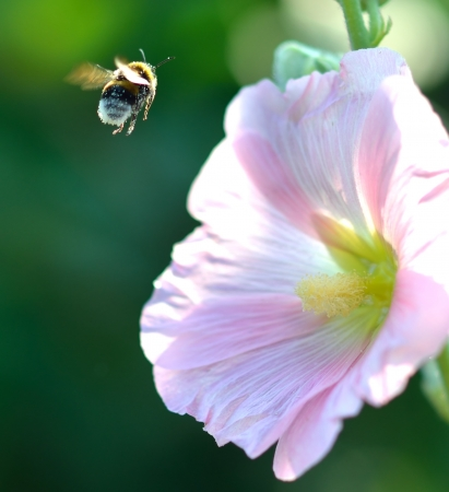 Bumblebee approaching a pink hollyhock Stock Photo
