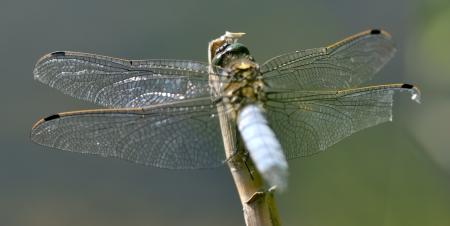 Dragonfly Broad-bodied Chaser - Libellula depressa
