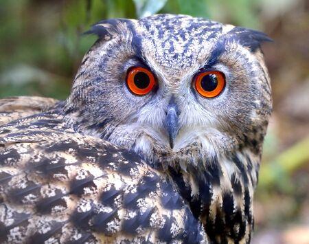 Eagle Owl - Bubo bubo photo
