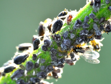 Aphids at work